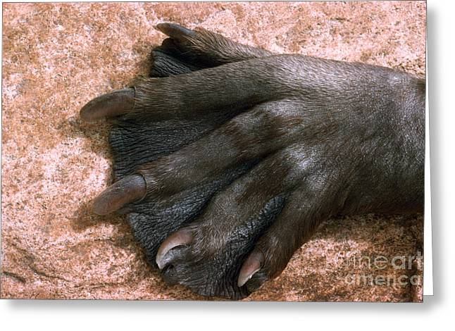 Beavers Hind Foot Greeting Card by V B Scheffer