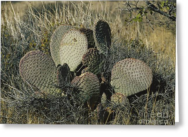 Californian Greeting Cards - Beavertail Cactus Greeting Card by Andreas Wellmann/Okapia