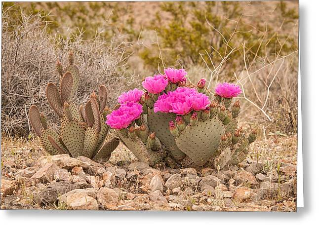 Cavern Greeting Cards - Beavertail Cactus Greeting Card by Rich Leighton