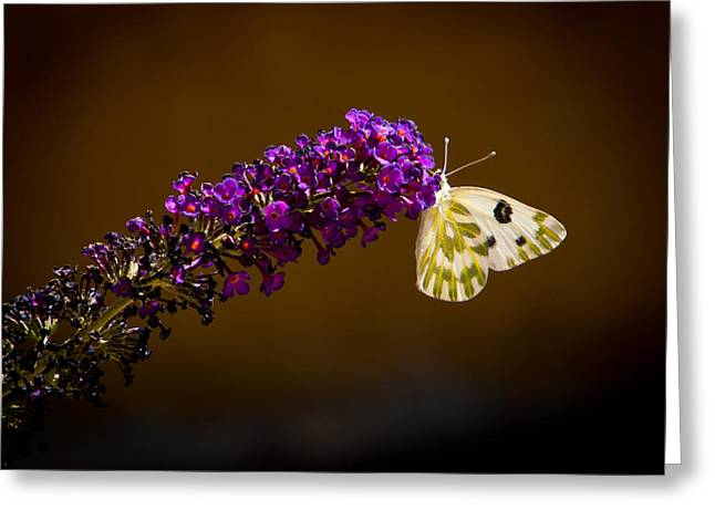 Beckers On Butterfly Bush Sparks Nevada Greeting Card by Janis Knight