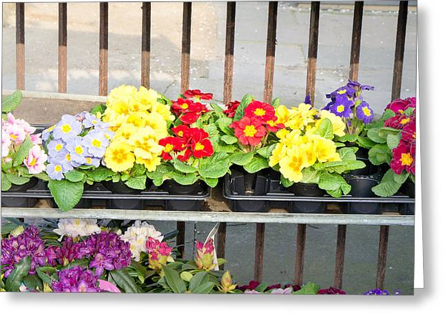 Primroses Greeting Cards - Bedding plants Greeting Card by Tom Gowanlock