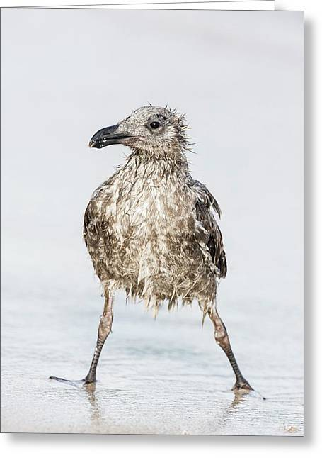 Bedraggled Juvenile Kelp Gull Greeting Card by Peter Chadwick