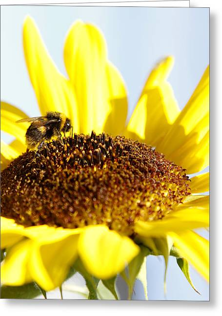 Bumblebee Greeting Cards - Bee and flower Greeting Card by Les Cunliffe