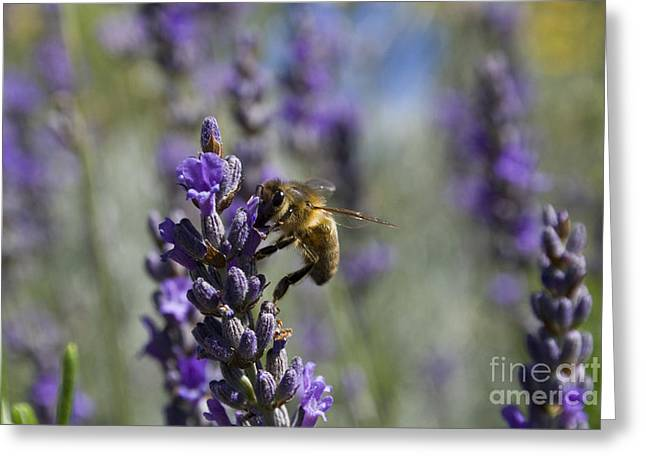 Australian Bees Greeting Cards - Bee and Lavender Greeting Card by Tristyn Lau