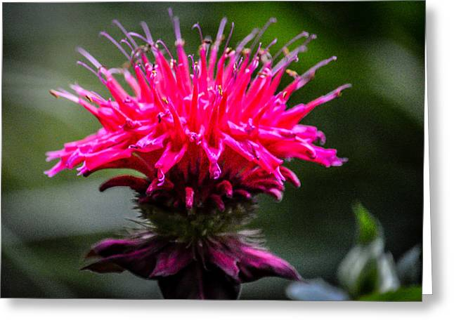 Horsemint Greeting Cards - Bee Balm Greeting Card by Black Brook Photography