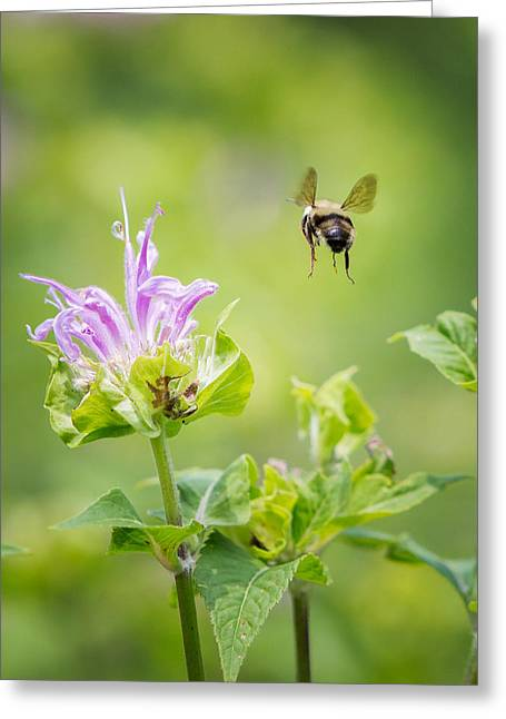 Bee In Flight Greeting Cards - Bee Balm Bumble Bee Greeting Card by Bill  Wakeley