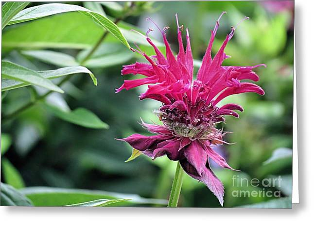 Horsemint Greeting Cards - Bee Balm Greeting Card by Janice Drew