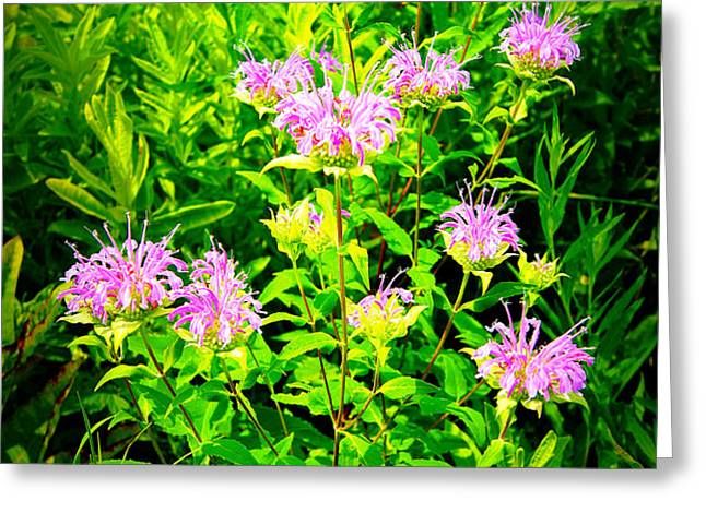 Bee Balm of the Butterfly Gardens of Wisconsin Greeting Card by Carol Toepke