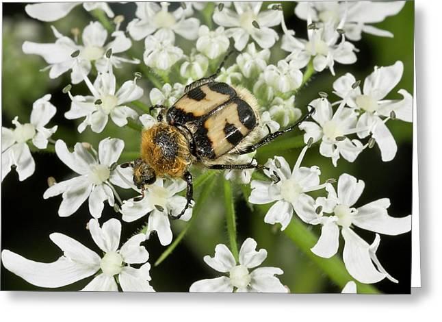 Bee Beetle (trichius Fasciatus) Greeting Card by Bob Gibbons
