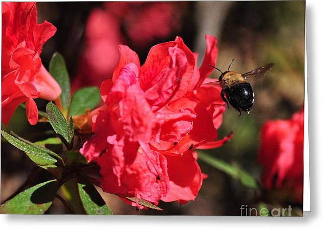 Bee Greeting Cards - Bee Big with Stinger Tailing Greeting Card by Wayne Nielsen
