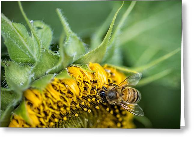 Honeybee Greeting Cards - Bee collecting pollen on a sunflower Greeting Card by Edward Fielding