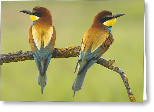Wildlive Greeting Cards - Bee-eaters Couple Greeting Card by Guido Montanes Castillo