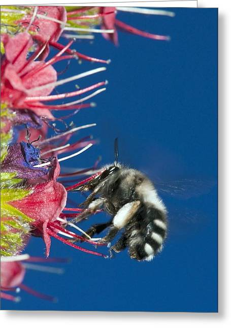 Eating Entomology Greeting Cards - Bee feeding on Teide bugloss Greeting Card by Science Photo Library