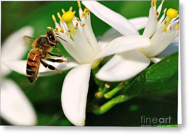 Bee Bees For Honey Gently Flies Greeting Card by Wayne Nielsen