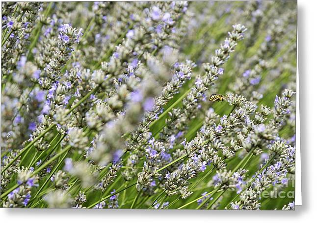 Bee Gathering Nectar From Lavender Flower Greeting Card by Sami Sarkis