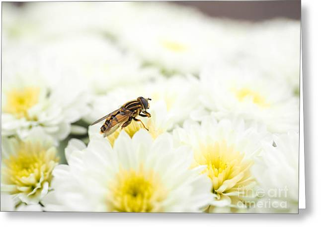 Many Pyrography Greeting Cards - Bee gathering nectar while pollinating a pile of white flowers w Greeting Card by Arve Bettum