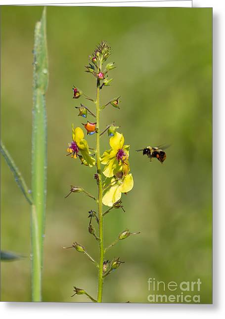 Gathering Greeting Cards - Bee gathers pollen Greeting Card by Davidmark Images