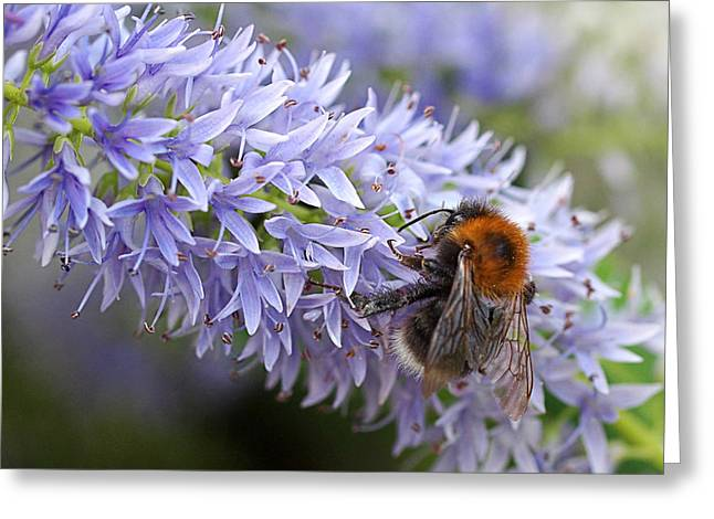 Garden Petal Image Greeting Cards - Bee Happy 1 Greeting Card by Gill Billington