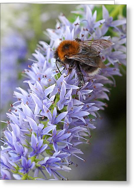 Garden Petal Image Greeting Cards - Bee Happy 2 Greeting Card by Gill Billington