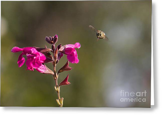 Australian Bees Greeting Cards - Bee Happy Greeting Card by Mardi Harrison