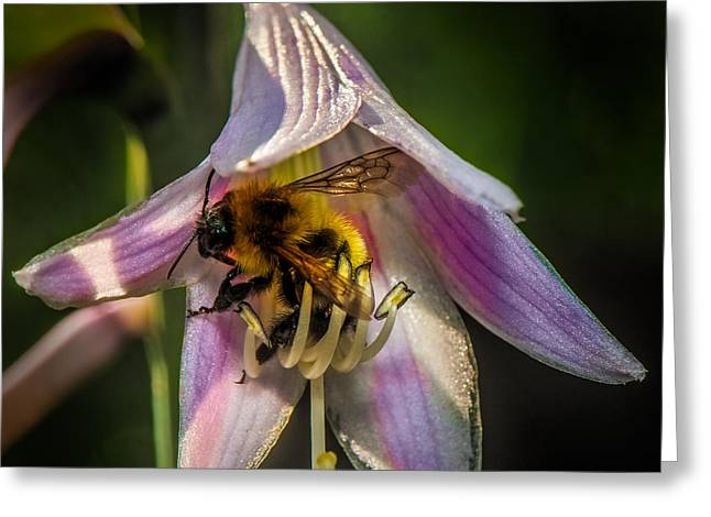 Hostas Greeting Cards - Bee In a Hosta Greeting Card by Paul Freidlund