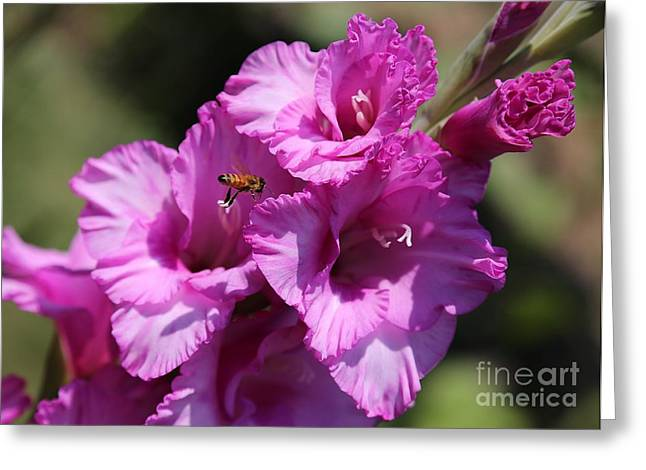 Gladiolas Greeting Cards - Bee in Pink Gladiolus Greeting Card by Carol Groenen