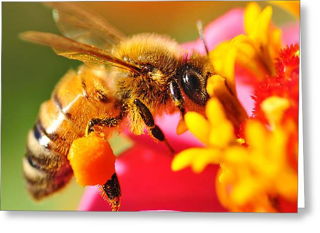 Yellow Stamen Greeting Cards - Bee Laden with Pollen 2 by Kaye Menner Greeting Card by Kaye Menner