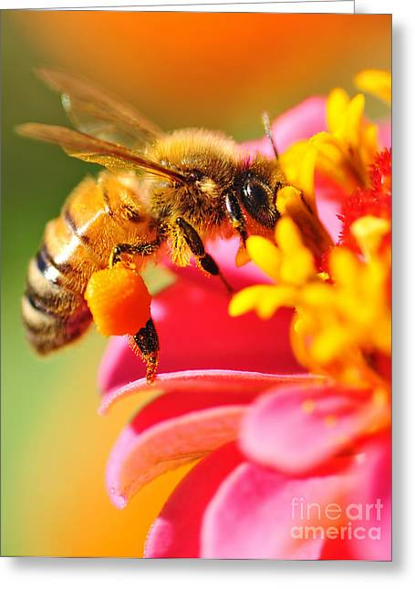 Flying Insect Greeting Cards - Bee Laden with Pollen Greeting Card by Kaye Menner