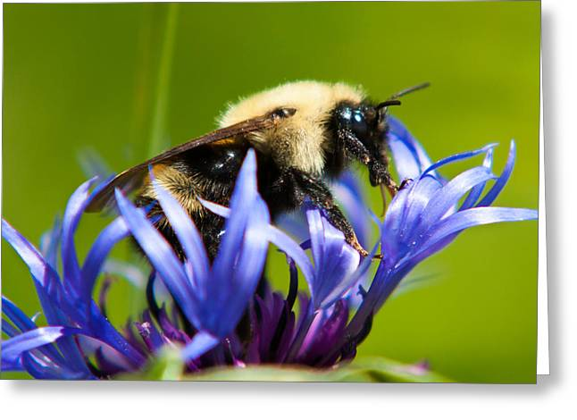 Centaurea Montana Greeting Cards - Bee On a Blue Flower Greeting Card by Matt Dobson