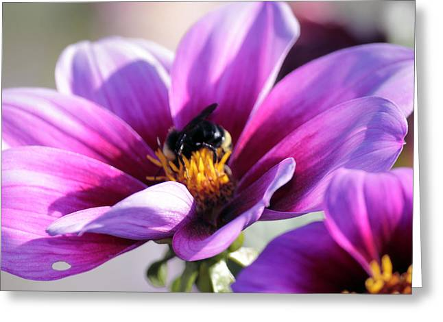 Tacoma Greeting Cards - Bee on A Flower Greeting Card by Paul Shefferly
