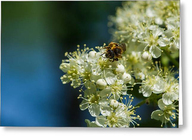 Garden Petal Image Greeting Cards - Bee on a rowan flower - Featured 3 Greeting Card by Alexander Senin