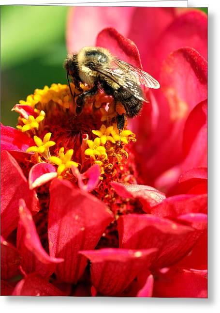 Zinnia Elegans Greeting Cards - Bee on a Zinnia flower Greeting Card by Optical Playground By MP Ray