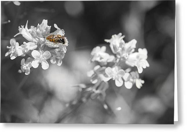 Todd Soderstrom Greeting Cards - Bee on Black and White Flowers Greeting Card by Todd Soderstrom