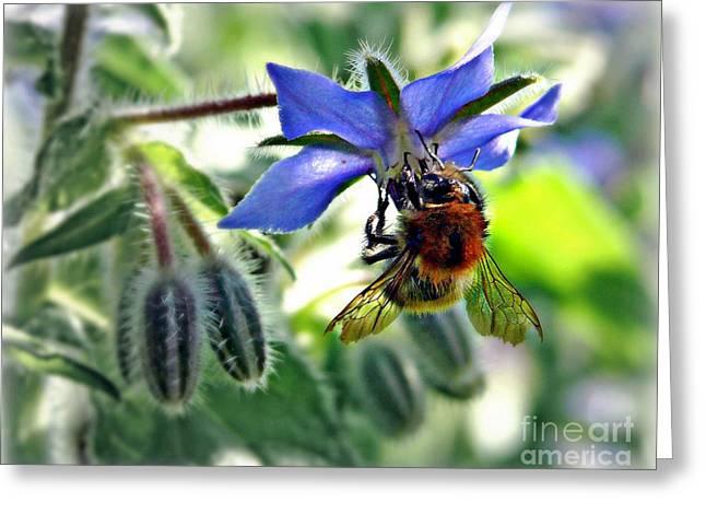 Bee On Borage Greeting Card by Morag Bates