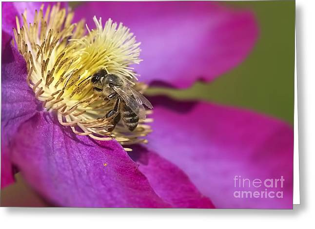 Honeybee Greeting Cards - Bee on Clematis Greeting Card by Sharon  Talson