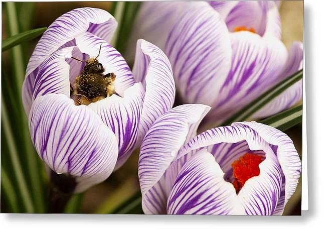 Grow Inside Greeting Cards - Bee On Crocus Greeting Card by Raven Regan
