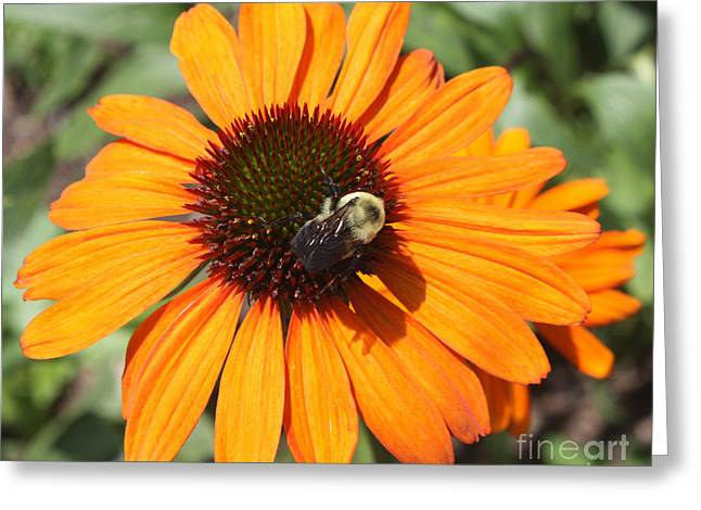 Print Photographs Greeting Cards - Bee on Flower Greeting Card by John Telfer