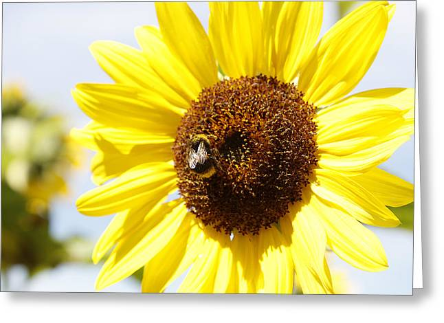 Bumblebee Greeting Cards - Bee on flower Greeting Card by Les Cunliffe