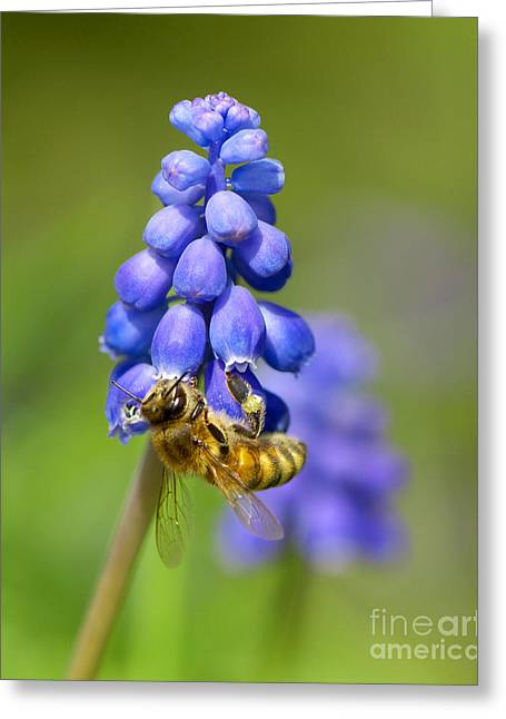 Bee On Grape Hyacinth Greeting Card by Sharon Talson
