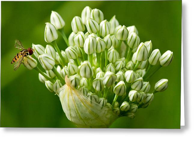 Bee On Onion Bloom Greeting Card by Iris Richardson