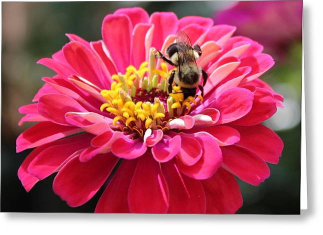 Zinnia Elegans Greeting Cards - Bee On Pink Flower Greeting Card by Cynthia Guinn