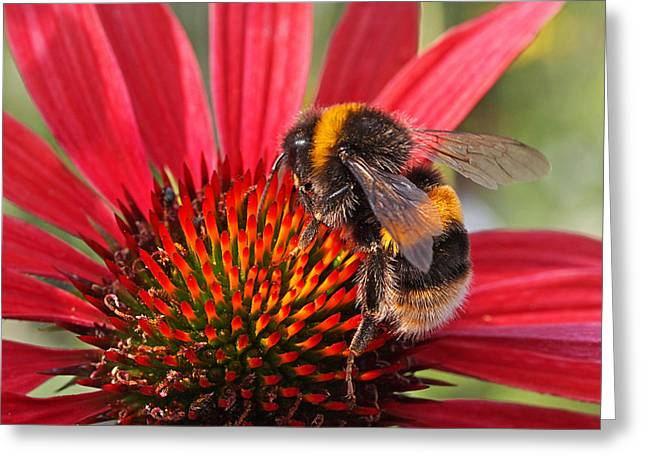 Green And Yellow Greeting Cards - Bee on Red Coneflower 2 Greeting Card by Gill Billington