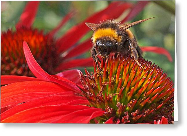 Green And Yellow Greeting Cards - Bee on Red Coneflower Greeting Card by Gill Billington