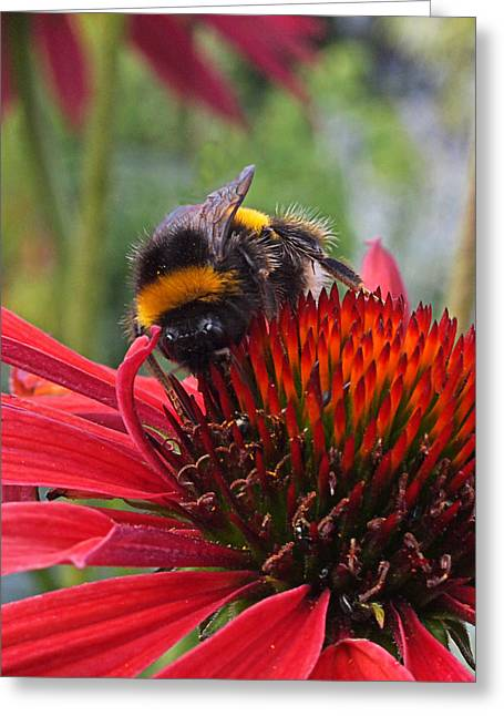 Green And Yellow Greeting Cards - Bee on Red Coneflower Vertical Greeting Card by Gill Billington