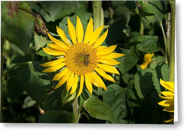 Honey Bee Greeting Cards - Bee On Sunflower, Baden-wurttemberg Greeting Card by Panoramic Images