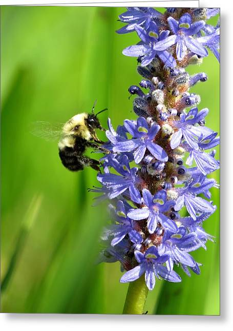 Pickerel Greeting Cards - Bee on the flower Greeting Card by Zina Stromberg