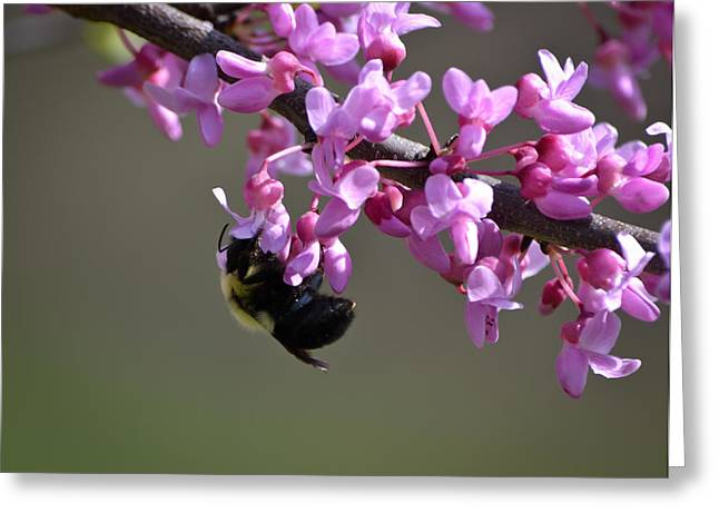 Marykzeman Greeting Cards - Bee on the Redbud Greeting Card by Mary Zeman