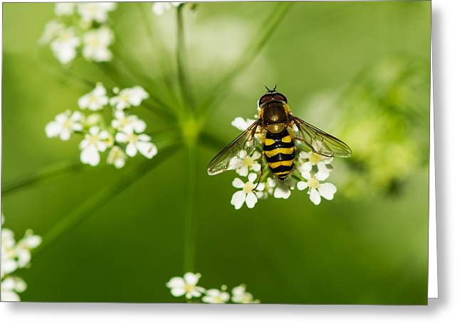 Beekeeping Greeting Cards - Bee On Top Of The Flower - Featured 3 Greeting Card by Alexander Senin