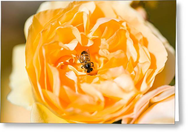 Pollinate Greeting Cards - Bee Pollinating A Yellow Rose, Beverly Greeting Card by Panoramic Images