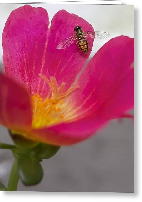 Bee Resting On A Pink Flower Greeting Card by Jennifer Lamanca Kaufman
